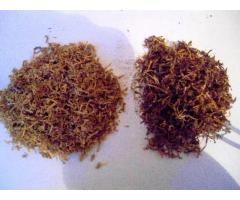 Tani tyton Burley ciety ondraszek 80zł kg marlboro 531306878